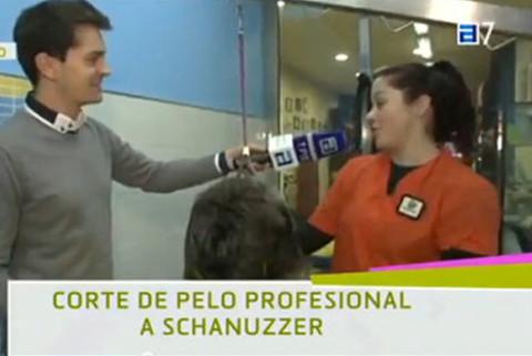 Petgrooming -  Stripping Schnauzer en Conexión Asturias. - Pet Grooming
