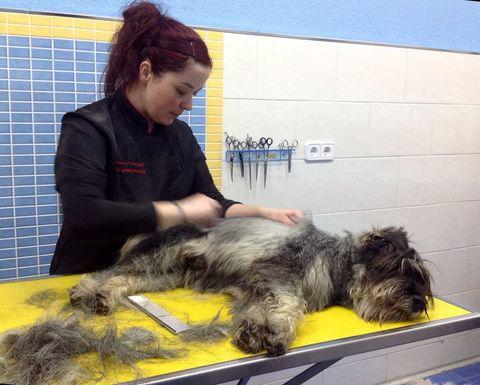 Petgrooming - El stripping, ¿beneficia o perjudica a nuestro perro? - Pet Grooming