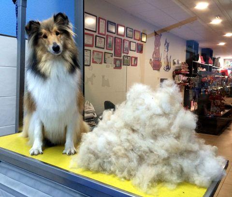 Petgrooming -  Perros y gatos con pelo de muda, ¿cortar o no cortar? - Pet Grooming